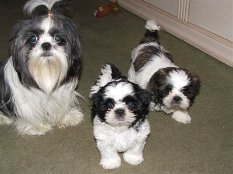 how much is shih tzu puppy puppy pictures shih tzu puppies shih tzu puppies