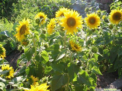 stauden sonnenblume pflege sonnenblumen pflege pflanzen d 252 ngen schnitt