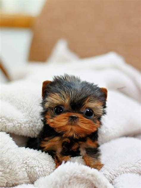 are teacup yorkies hypoallergenic 17 best ideas about yorkie puppies for sale on yorkie dogs for sale