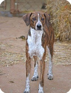 puppies for adoption in chattanooga tn chattanooga tn plott hound mix meet a for adoption
