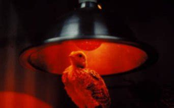 when to use a heat l for chickens 171 light and colours 187