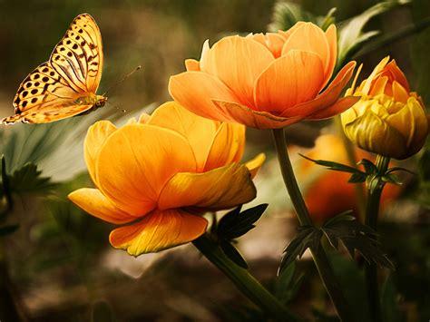 butterfly wallpaper yorkshirerose wallpaper  fanpop