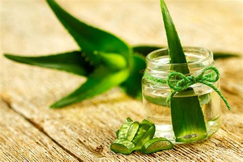 aloe vera facts 12 interesting facts about aloe vera for kids