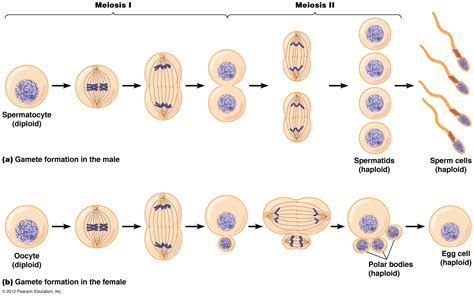 phases of meiosis diagram meiosis 1 and 2 diagram meiosis free engine image for
