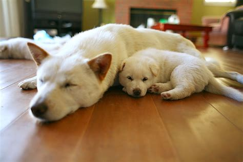 jindo puppies korea s 53rd national treasure is a gorgeous you ve never heard of