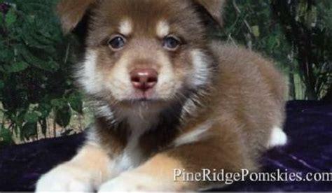 how big do pomeranian huskies get 17 best ideas about pomsky for sale on pomsky puppies pomsky for sale