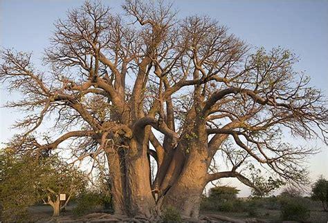 sinonimo vanidoso descubriendo hakuna matata el significado de baobab