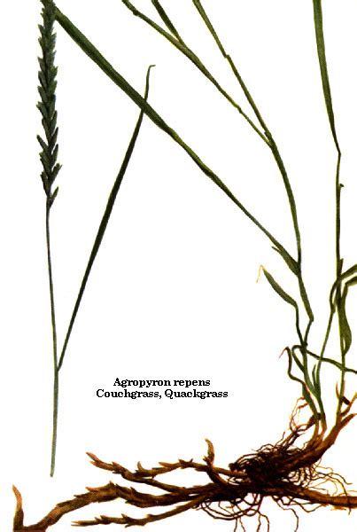 couch grass rhizome basic botanical info agropyron repens