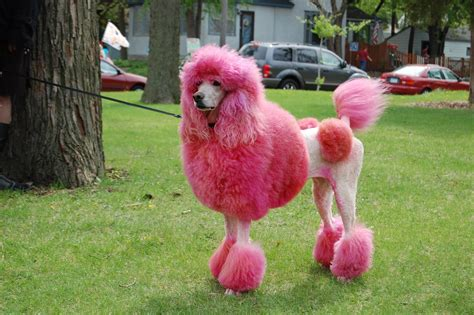 can my teacup poodle get the standard poodle haircut 5 reasons we love breast cancer awareness month the