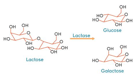 diagram of lactose and lactase reaction chemistry
