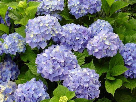 imagenes de jardines con hortensias mis jovis plantas y fotos hortensias