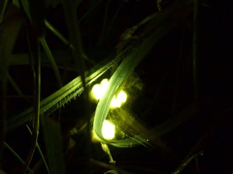 the glow worm and other beetles classic reprint books 17 best images about lightning bugs fireflies on