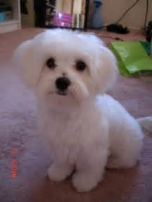 haircutsfordogs poodlemix maltese puppy haircuts otis s new haircut maltese dogs