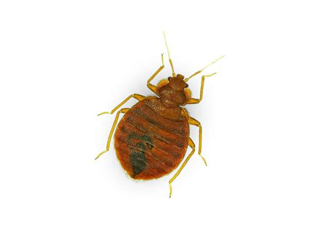 Do Bed Bugs Hop by Bed Bugs Extermination Pro Tech Extermination Ottawa
