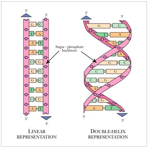 son cadenas de adn el adn los genes y el c 243 digo gen 233 tico chilebio