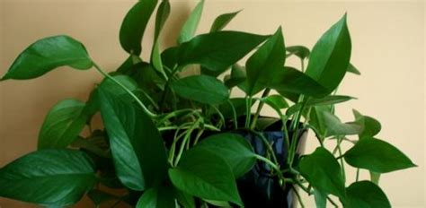 grow houseplants   light conditions todays
