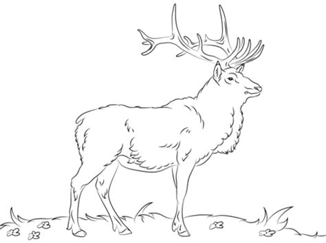 rocky mountain elk coloring page coloring pages