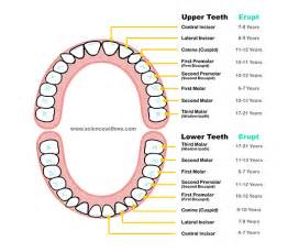 How many teeth do humans have family s campus children aged 7 or above