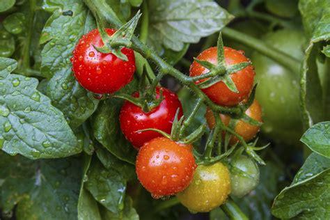 coltivazione pomodori in vaso orto biologico on line coltivare i pomodori el tamiso