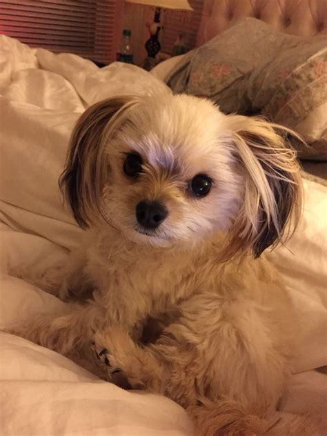 pom and yorkie mix pomeranian mix yorkie and pomeranians on