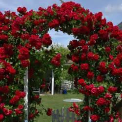 climbing rose mr lincoln garden express