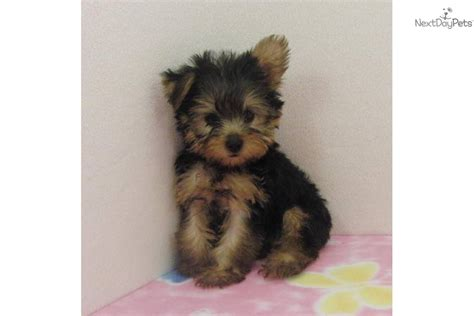 yorkie black and gold terrier yorkie puppy for sale near dallas fort worth 6b904fdc 1a81