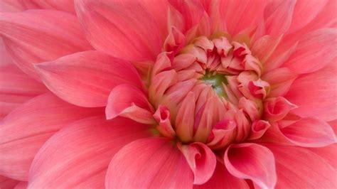 fiore di ibisco significato significato ibisco significato fiori significato