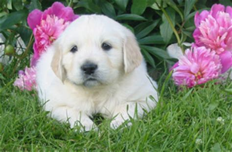 golden retriever breeders toronto area golden retriever breeders canada s guide to dogs golden retrievers
