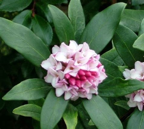 fragrant shade plants top 25 ideas about garden shrubs on shade