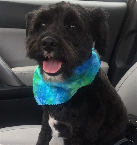 dogs for adoption in ma schnoodle miniature schnauzer poodle mix for adoption boston massachusetts ma tucker