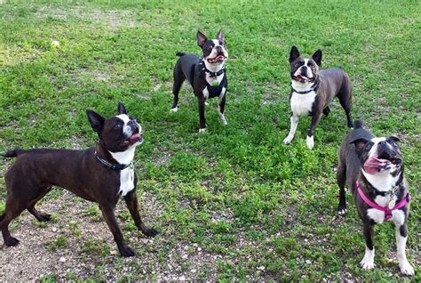 boston terrier pug rescue manitoba boston terrier pug rescue of southern manitoba adopt a today