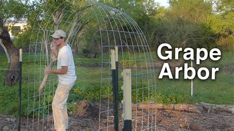 How To Build An Arbor Trellis by Building The Grape Arbor Trellis Cattle Panels And T