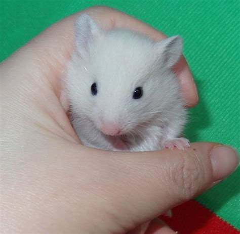 Cute Baby Syrian Hamsters