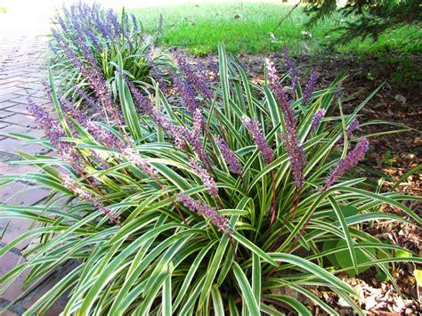 decorative grass plants perennial decorative grasses short perennial ornamental