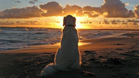 sunset golden retrievers golden retriever at sunset wallpaper animal wallpapers 9507