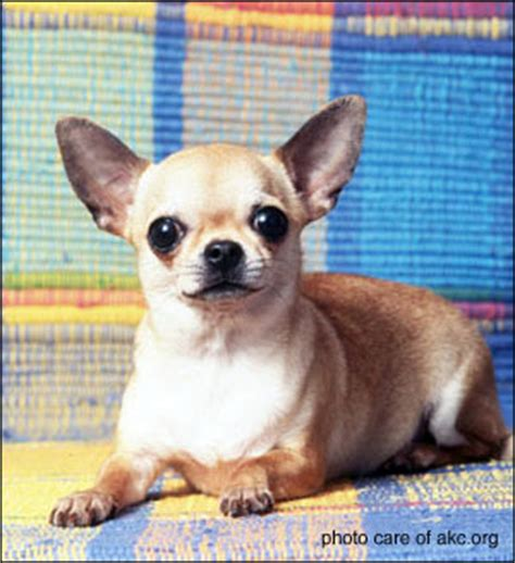applehead chihuahua puppies girlshopes
