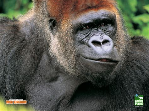 Gorilla Wallpapers | Fun Animals Wiki, Videos, Pictures ...