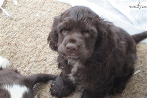 cocker spaniel puppies for sale in va cocker spaniel puppy for sale near eastern panhandle west virginia 91a5c4df a411