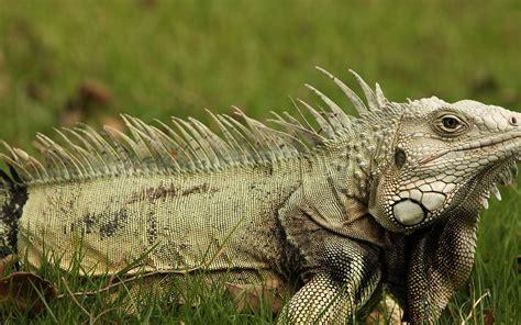 Iguana L l iguane vert iguana iguana dossier