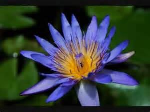 Lotus Meditation Lotus Meditation