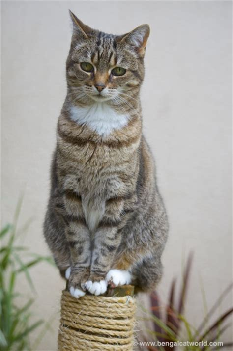 Top I Ll Even My Cat With You New bengal cat facts bengal cat world