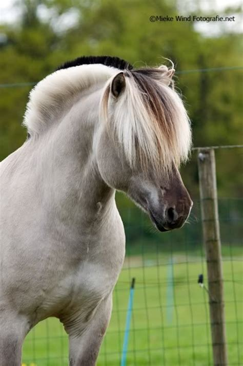 fjord meat norwegian fjord horse the sheep dog of horses have one