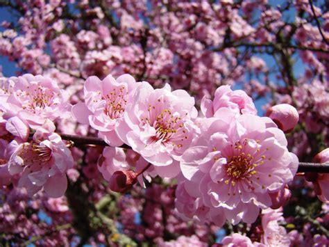 spring tree pink flower blossoms colorful baslee troutman best pink flowering trees and