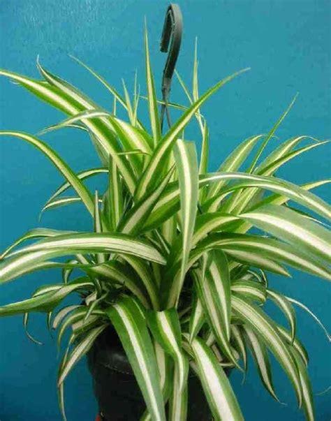 piante d appartamento foto piante da vaso chlorophytum falangio chlorophytum