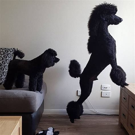 miniature french poodle hairstyles 83 best poodle grooming hairstyles images on pinterest