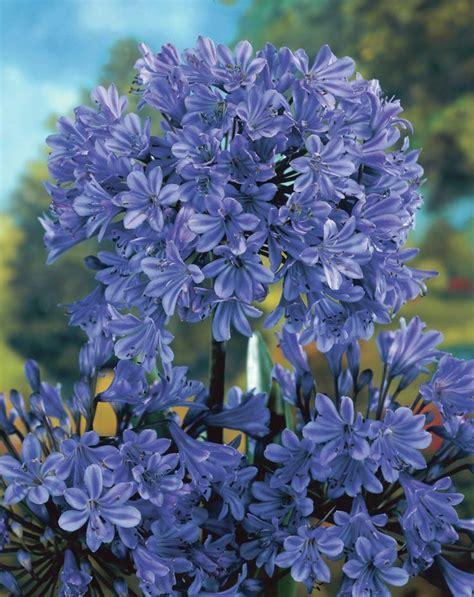 schmucklilien blue giant agapanthus blue giant