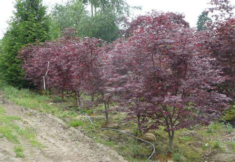 outdoor garden design mesmerizing japanese maple bloodgood for garden plant ideas jones