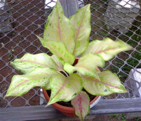 tanaman aglaonema siam pearl bibitbungacom