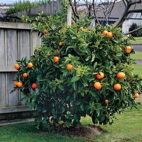 Wall Sticker Pohon Orange 3d 10 edible fruit orange tree seeds bonsai citrus orange