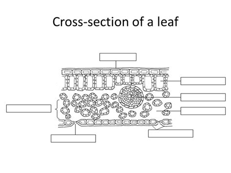 cross section of leave photosynthesis diagram black and white choice image how
